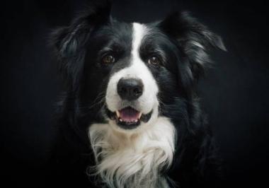 Concurso tenta determinar qual cachorro é o mais inteligente